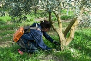 La Taille des oliviers - Mars 2015