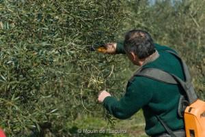 La Taille des oliviers - 2012