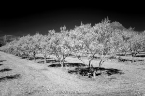 L'oliveraie en Infra Rouge NB